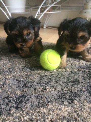 Mini Toy Cachorros Yorkshire Terrier Mini Toy