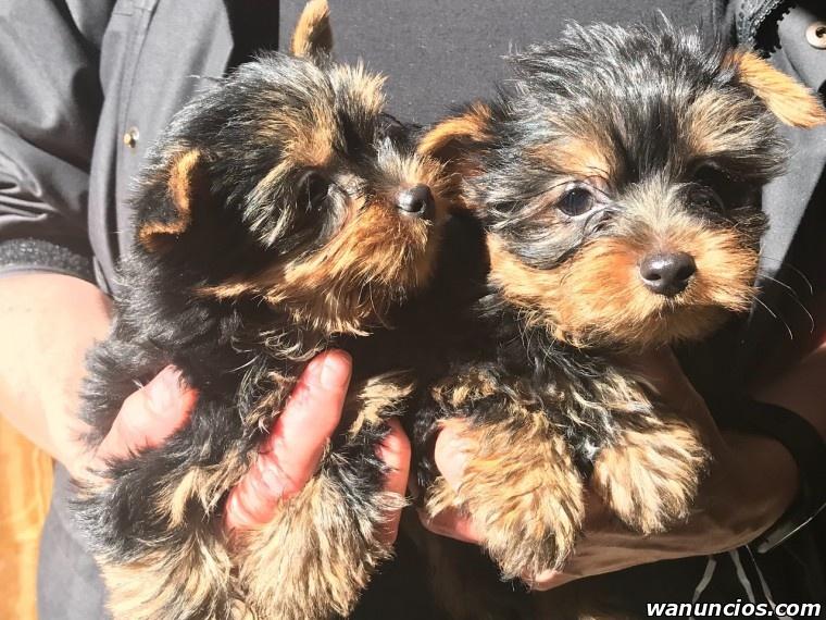 Navidad cachorros de yorkshire terrier pedigree - Barcelona