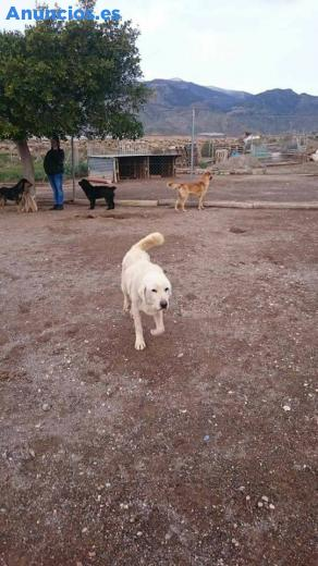 Otto, Cruce De MastíN Con Labrador, En AdopcióN
