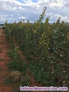 Plantas de pistachos injertados