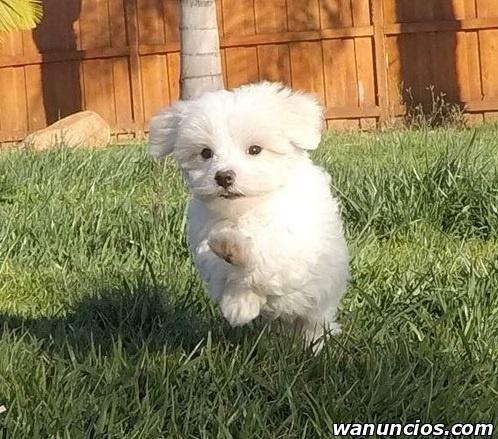 Preciosos Cachorros Maltés Disponibles -