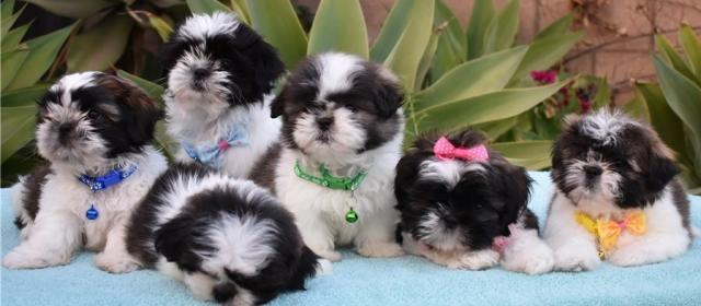 Preciosos Cachorros Shih Tzu masculinos y femenino