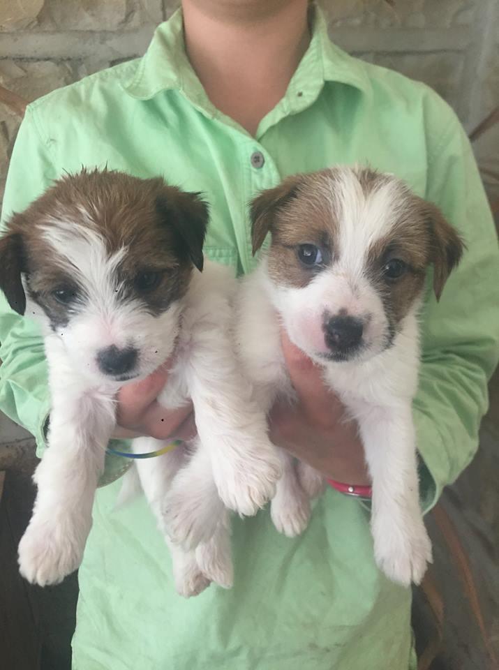 Preciosos cachorros de Jack Russell