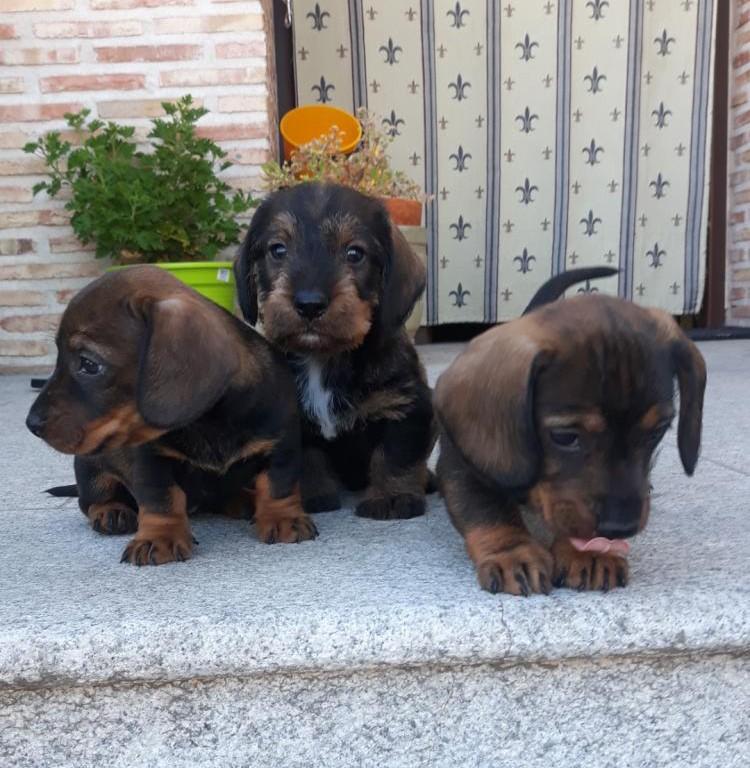 Preciosos cachorros de Teckel pelo duro