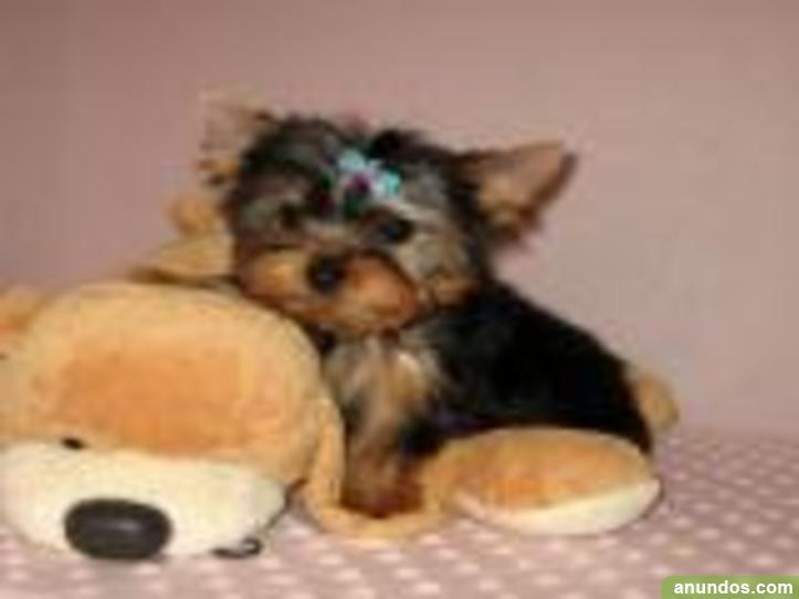 Preciosos cachorros de yorkshire terrier machos y hembras de