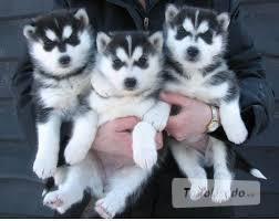 Presente macho y hembra cachorros Husky Siberiano - Madrid
