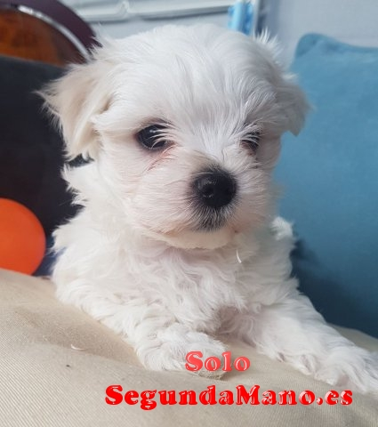 REGALO Bichon Maltes Mini Toy Para Adopcion