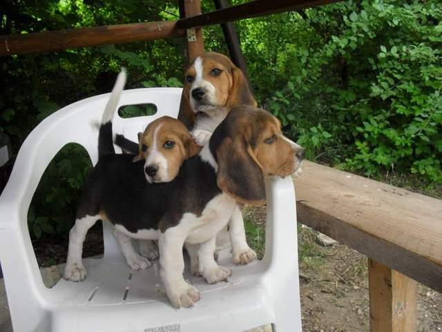 REGALO Camada De Beagles, Macho y Hembra Para Navidad