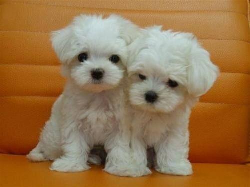 REGALO cachorros de Bichon Maltes Mini Toy Para Ad