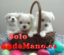 Regalan Mini Toy Cachorros Bichon Maltes