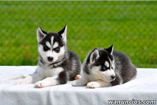 Regalo Cachorros Siberiano Husky Disponibles - Madrid