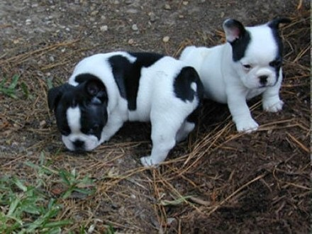 Regalo Excelentes cachorros bulldog francés - Madrid