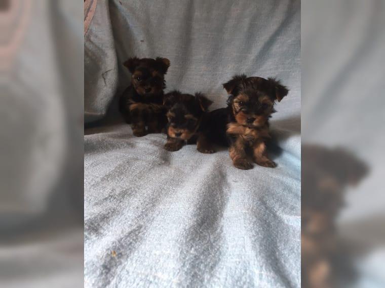 Regalo Magnifico Cachorros Yorkshire Terrier