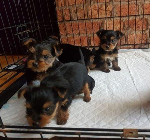 Regalo Mini Toy Cachorros Yorkshire Terrier Mini T
