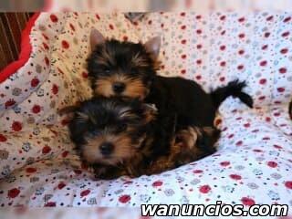 Regalo Tenemos Cachorros de Yorkshire Terrier - Madrid