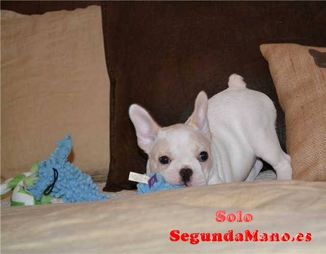 Regalo cachorro bulldog frances macho y hembras