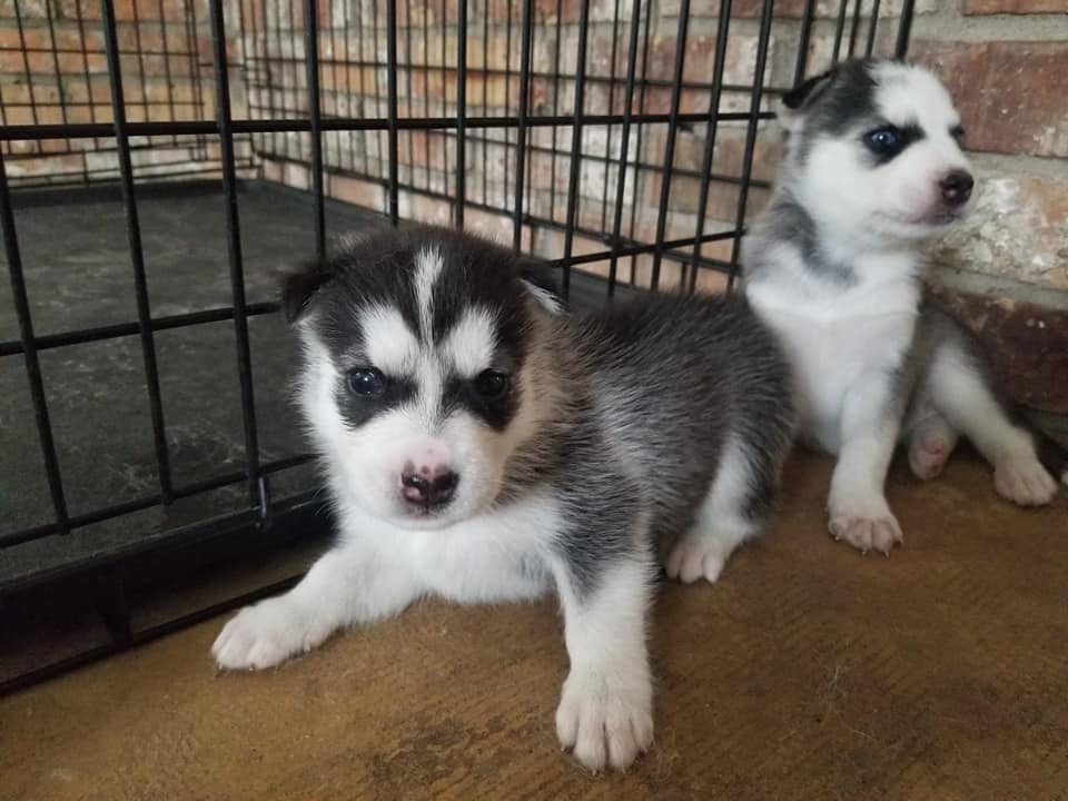 Regalo cachorros husky en venta