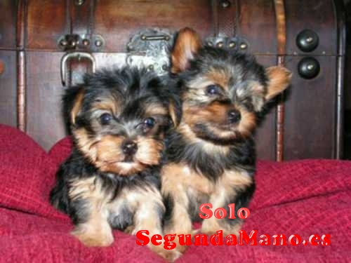 Regalo cachorros toy, de yorkshire terrier