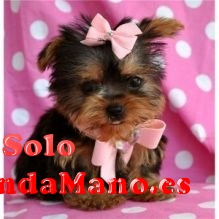 Regalo cachorros toy, de yorkshire terrier/
