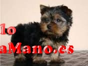 !!Regalo cachorros toy, de yorkshire terrier