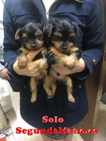 Regalo cachorros toy de yorkshire terrier mini pa