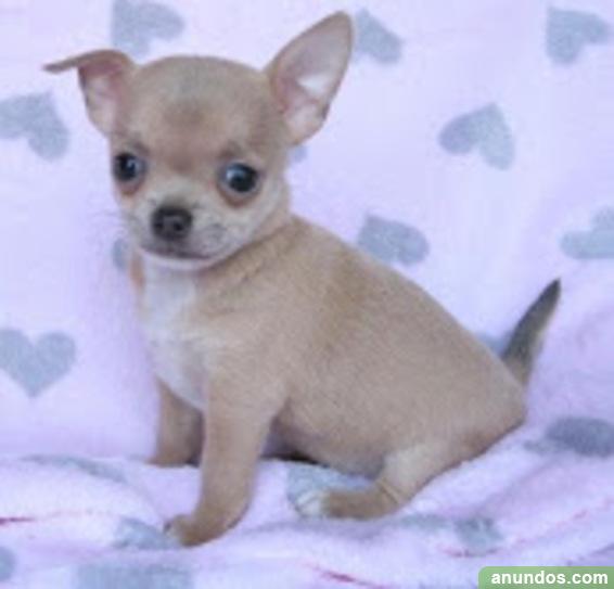 Regalo navidad chihuahua para adopcion - Bergondo