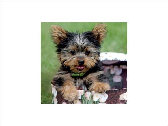 Registered Taza de té yorkie cachorro desparasitados,