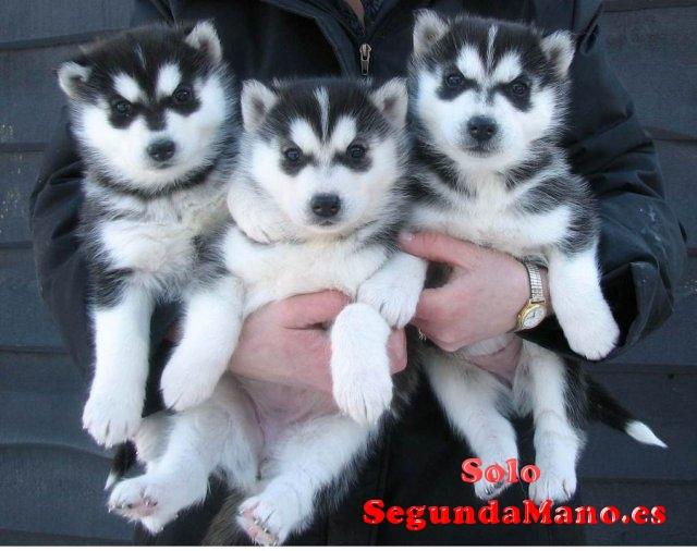 Se vende cachorros de husky siberiano