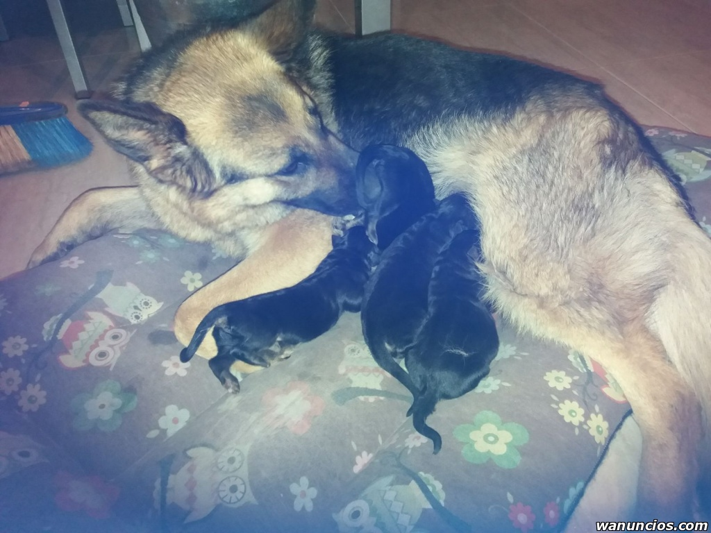 Se vende tres cachorros pura raza pastores alemanes - Madrid