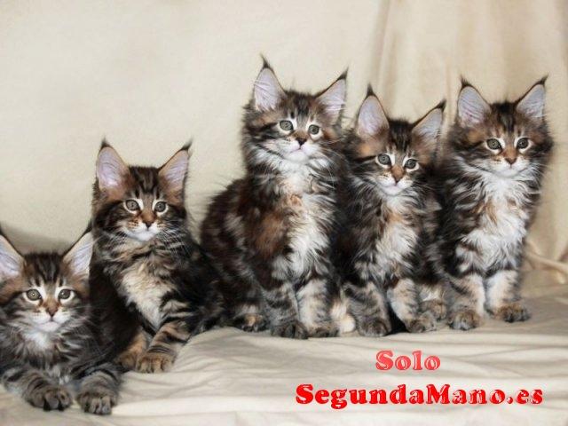 Se venden gatitos Maine Coon de gran tamaño