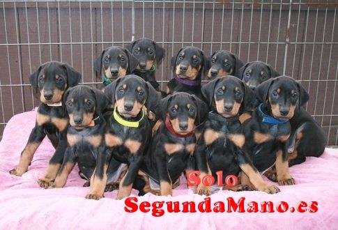 Se venden preciosos cachorros de Doberman