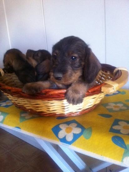 Ultimos cachorros de Teckel pelo duro color jabali - Toledo