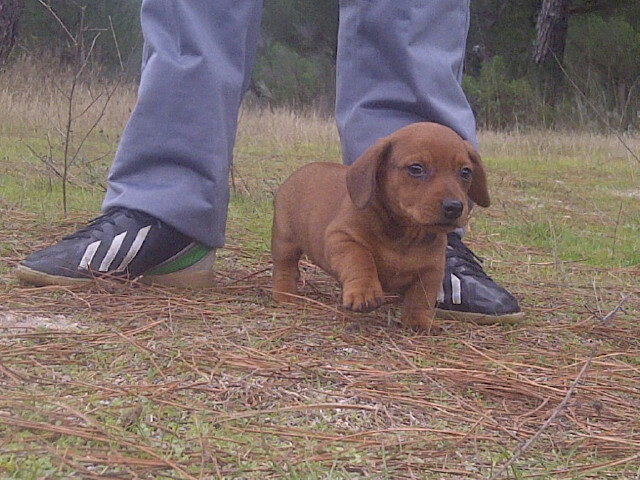 Vendo cachorros de teckel de pelo corto rojos - Madrid