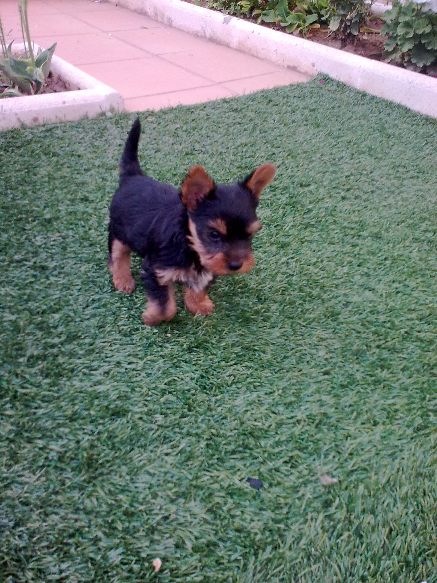 cachorro de yorkshire macho - Barcelona