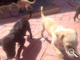 cachorro galgo español de dos meses!!! - Castellón