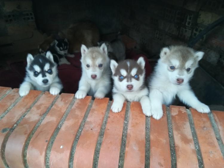 cachorro macho marrón husky ojos azules pedigree
