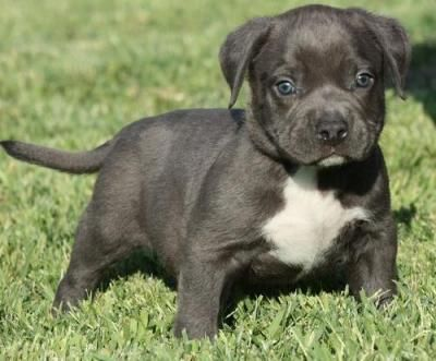 cachorros americano pitbull necesita una nueva familia