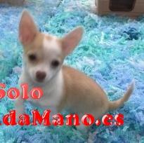 cachorros de chihuahua adorables y hermosos para adopción