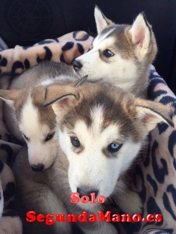 cachorros de husky