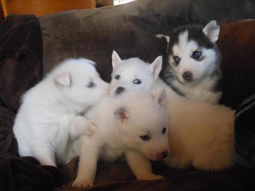 cachorros husky siberiano macho y hembra disponibles -