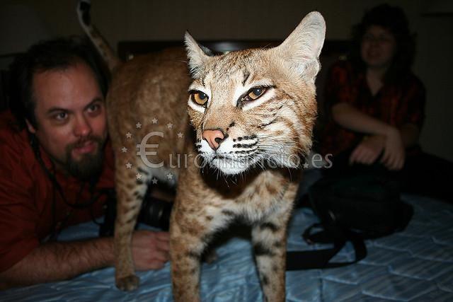 gatitos exóticos disponibles para la venta