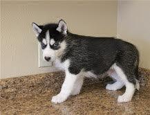 hermosos cachorros de husky siberiano