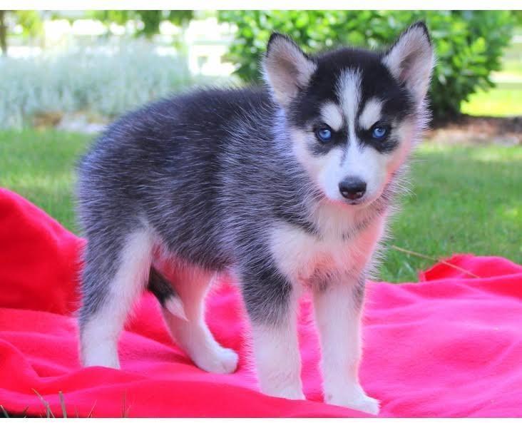 lindos cachorros de husky