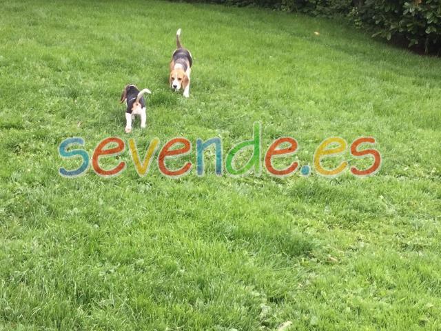 lugar perfecto para criar beagles