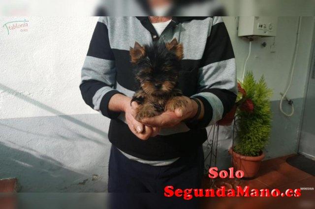 preciosos cachorros de tamaño mini yorsay