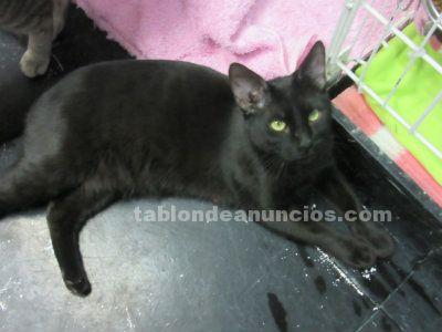 Adopcion gatito negro. Odin
