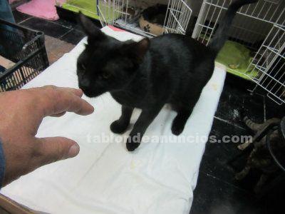 Adopta a gatito. Noir