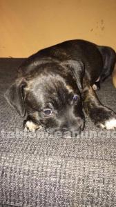 Cachorro staffordshire bull terrier (staffy)