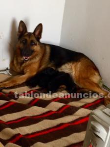 Cachorros de pastor alemán.