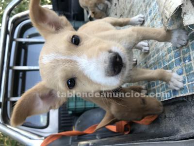 Cachorros de podenco andaluz